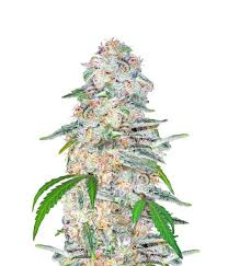 Blue Dream Feminized SEED